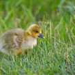 Portrait of a graylag goose chick - Stock Photo