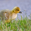 Portrait of a graylag goose chick — Stock Photo #9075233