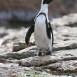 African penguin (spheniscus demersus) at the Boulders colony - Stock Photo