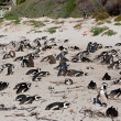African penguins (spheniscus demersus) at the Boulders colony — Stock Photo