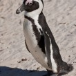 African penguin (spheniscus demersus) at the Boulders colony — Stock Photo