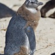 African penguin (spheniscus demersus) at the Boulders colony — Stock Photo #9075258