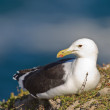 Cape gull (larus vetula) at Robberg Nature Reserve - Stock Photo