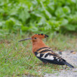 African hoopoe (upupa africana) at Addo Elephant Park — Stock Photo