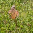 Speckled mousebird (colius striatus) at Addo Elephant Park — Stock Photo