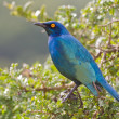 Cape glossy starling (lamprotornis nitens) at Addo Elephant Park - Stockfoto