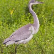 Black-headed heron (ardea melanocephala) at Addo Elephant Park — Foto Stock