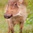Warthog (phacochoerus africanus) at Addo Elephant Park — Stock Photo #9075318