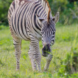Burchell's zebra (equus quagga) at Addo Elephant Park - Stock Photo