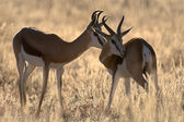 Two springbucks in the evening sun — Stock Photo