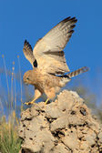 Lesser kestrel landing on rock — Stock Photo