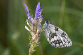 Closeup of a marbled white butterfly — Stock Photo