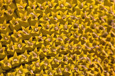 Closeup of a sun flower — Stock Photo
