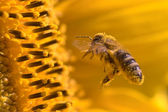 Macro of a honeybee in a sunflower — Stock Photo