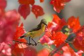 Sunbird — Stock fotografie