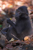 Black macaque — 图库照片