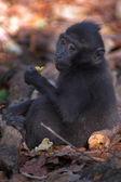 黑猕猴 — 图库照片