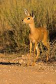 Portrait of a steenbuck — Stock Photo