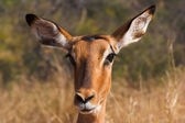 Portrait of an impala — Stock Photo