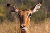 Bir impala portresi — Stok fotoğraf