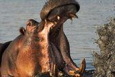 Retrato de un hipopótamo — Foto de Stock