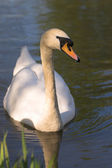 Cygne — Photo
