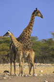 Pair of giraffes — Stock Photo