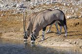 Pair of oryx drinking. — Stock Photo