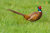Portrait of a male pheasant — Stock Photo