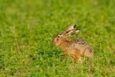 Portrait of a brown hare — Stock Photo
