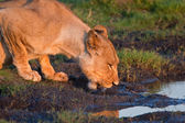 Drinking lioness at at a waterhole. — Stock Photo