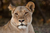 Portrait of a wild lion in southern Africa. — Stock Photo