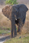 Portrait of a wild elephant in southern Africa. — Stock Photo