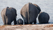 Group of wild elephants at a waterhole. — Stock Photo