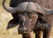 Portrait of a wild african buffalo in souther Africa. — Stock Photo