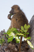 Portrait of a wild baboon in southern Africa. — Stock Photo