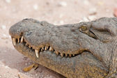 Portrait of a nile crocodile in southern Africa. — Stock Photo