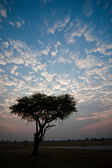 Accacia tree in the early morning light. — Stock Photo
