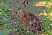 Portrait of a sitting brown hare — Stock Photo