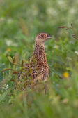 Portrait of a female pheasant. — Stock Photo