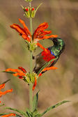Scarlet-chested sunbird (nectarinia senegalensis) at Wilderness — Stock Photo