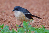 Fiscal shrike (lanius collaris) at Addo Elephant Park — Stock Photo