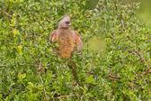 Speckled mousebird (colius striatus) at Addo Elephant Park — Foto Stock