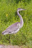 Black-headed heron (ardea melanocephala) at Addo Elephant Park — Stock Photo