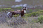 Bontebok (damaliscus dorcas) at Table Mountain National Park — Stock Photo