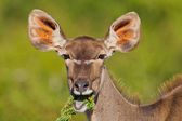 Greater Kudu (tragelaphus strepsiceros) at Addo Elephant Park — Stock Photo