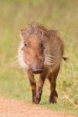 Warthog (phacochoerus africanus) at Addo Elephant Park — Stock Photo