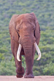 African elephant (loxodonta africana) at the Addo Elephant Park. — Stock Photo