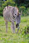 Burchell's zebra (equus quagga) at Addo Elephant Park — Stock Photo