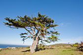 Wild tree at the Cape of Good Hope peninsula — Stock Photo